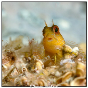 Little yellow blennius with 105mm by Giroudon Jean-Pierre 